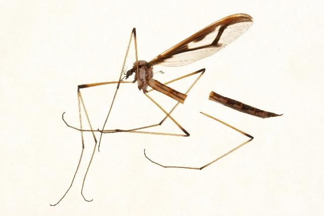 Image of <i><i>Pedicia</i></i> (Pedicia) <i>margarita</i> Alexander 1930
