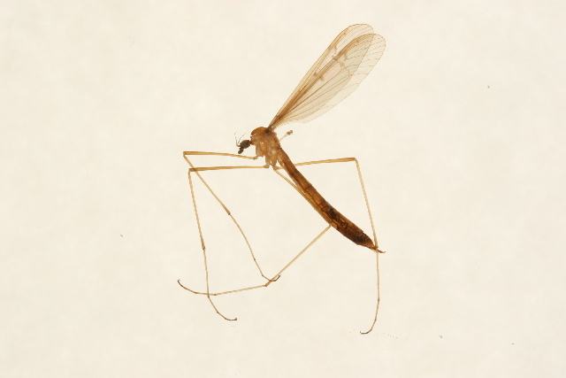 Image of <i><i>Tricyphona</i></i> (Tricyphona) <i>inconstans</i> (Osten Sacken 1860)