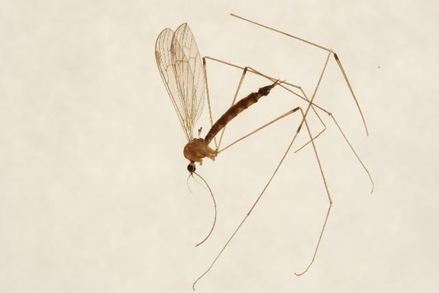 Image of <i><i>Elephantomyia</i></i> (Elephantomyia) <i>westwoodi</i> Osten Sacken 1869