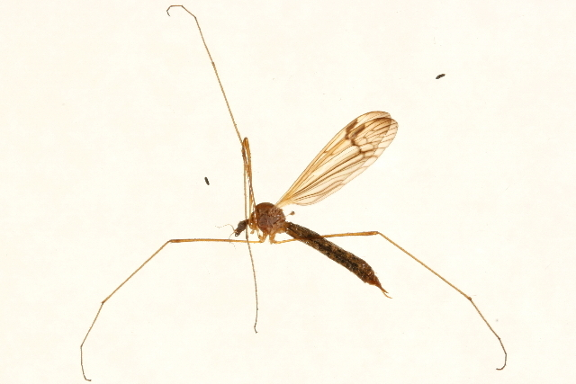 Image of Phylidorea