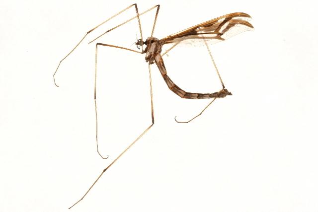 Image of <i><i>Pedicia</i></i> (Pedicia) <i>goldsworthyi</i> Petersen 2006