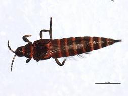 Image of <i><i>Haplothrips</i></i> (Haplothrips) <i>leucanthemi</i> (Schrank 1781)