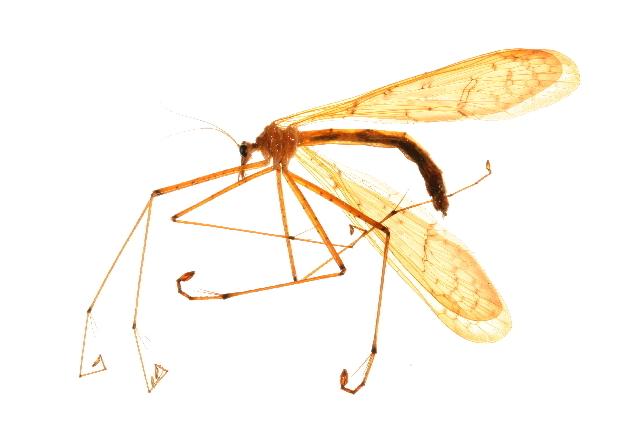 Image of Bittacus