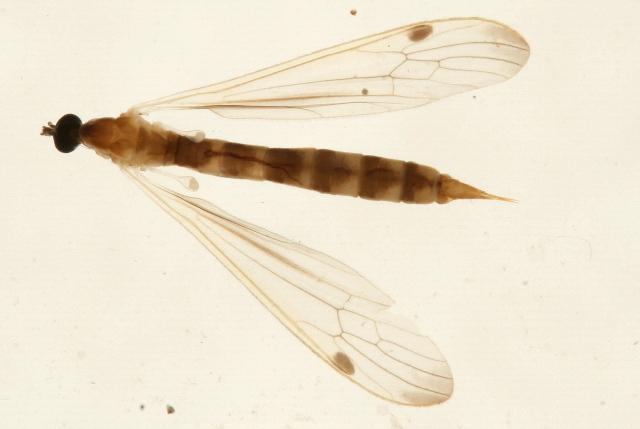 Image of <i><i>Helius</i></i> (Helius) <i>flavipes</i> (Macquart 1855)