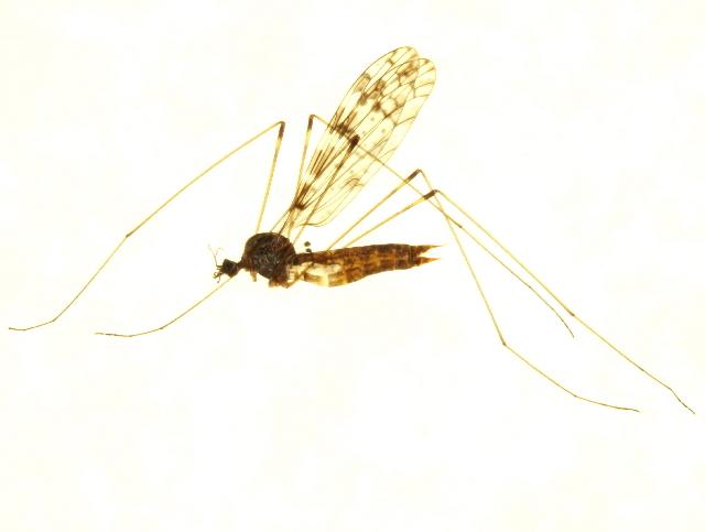 Image of <i>Dicranomyia simulans</i>