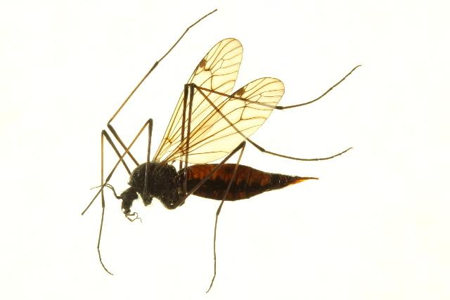 Image of <i>Nephrotoma byersi</i> Oosterbroek 1984