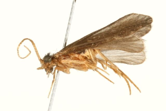 Image of <i>Cyrnellus fraternus</i> (Banks 1905)