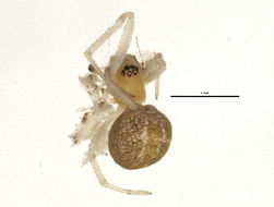 Image of <i>Theridion submissum</i> Gertsch & Davis 1936