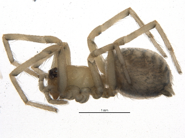 Image of Cribellate spider