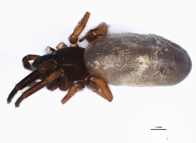 Image of tubeweb spiders