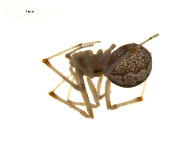 Image of <i>Theridion melanostictum</i> O. Pickard-Cambridge 1876