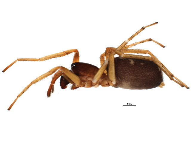 Image of Antmimic spider