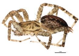 Image of <i>Barronopsis</i>