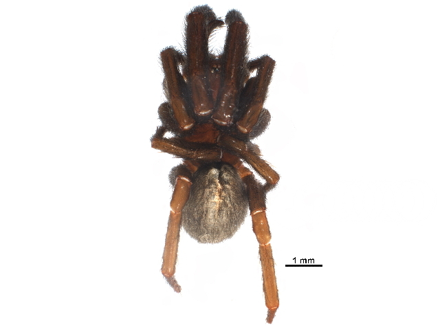 Image of nemesiid spiders