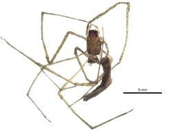 Image of <i>Deinopis spinosa</i> Marx 1889