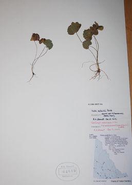 Image of Selkirk's violet