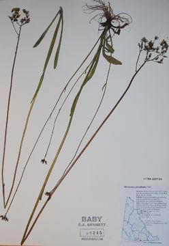 Image of tall hawkweed