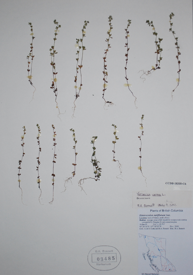 Image of spring speedwell