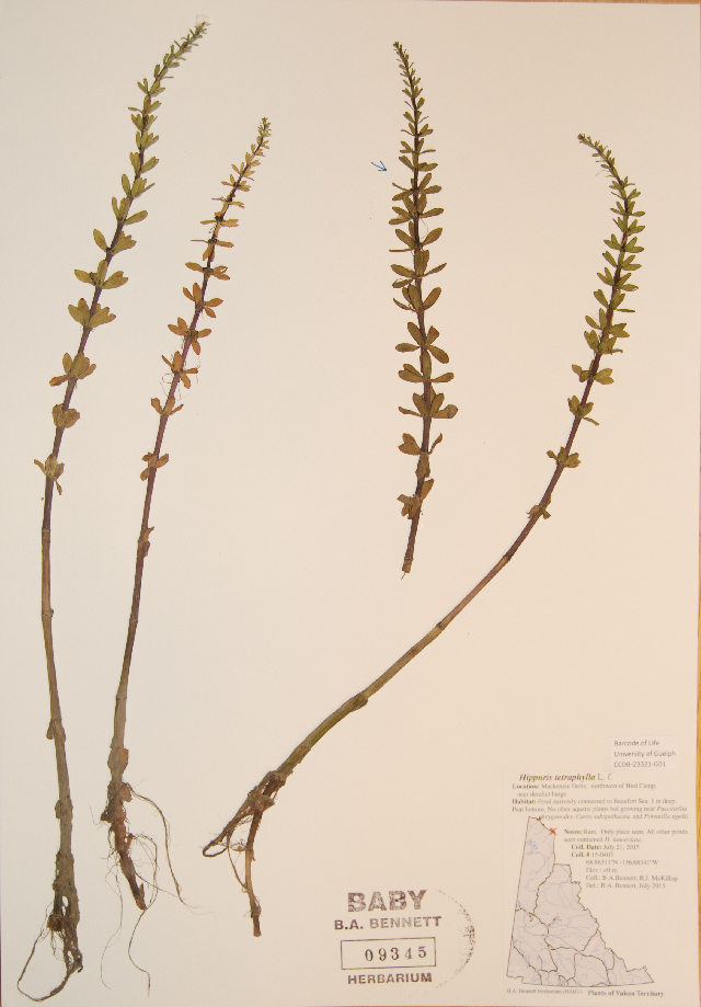 Image of fourleaf mare's-tail