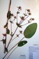 Image of plains eryngo