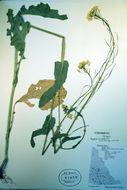 Image of field mustard