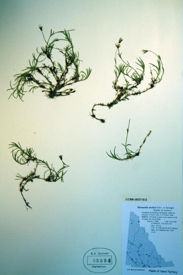 Image of <i>Minuartia arctica</i> (Steven ex Ser.) Graebn.
