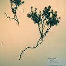 Image of <i>Loiseleuria procumbens</i> (L.) Loisel.