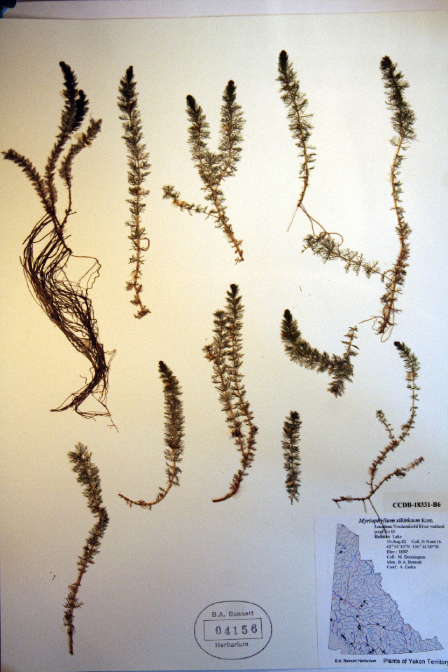 Image of shortspike watermilfoil