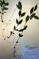 Image of northern bugleweed