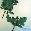 Image of western mountain ash