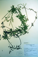 Image of goose grass