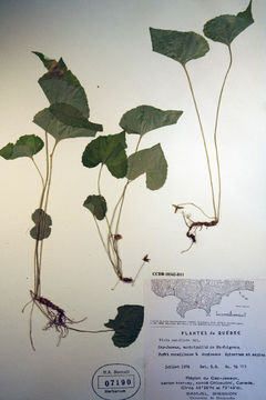 Image of <i>Viola cucullata</i>