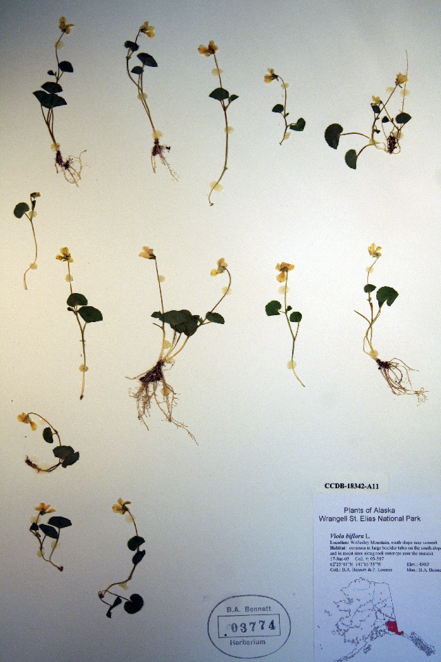 Image of arctic yellow violet