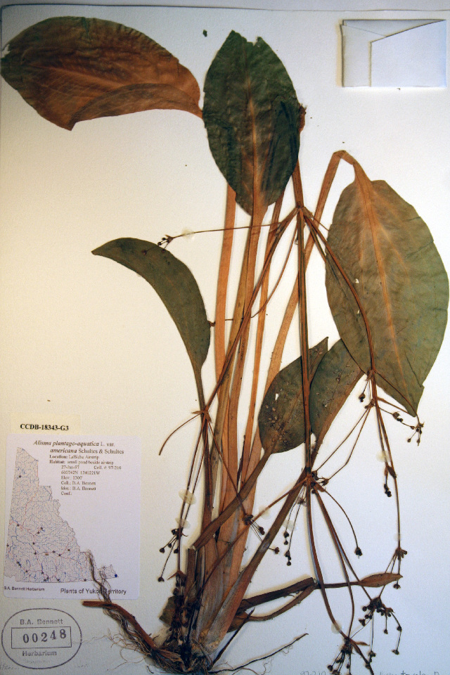 Image of northern water plantain