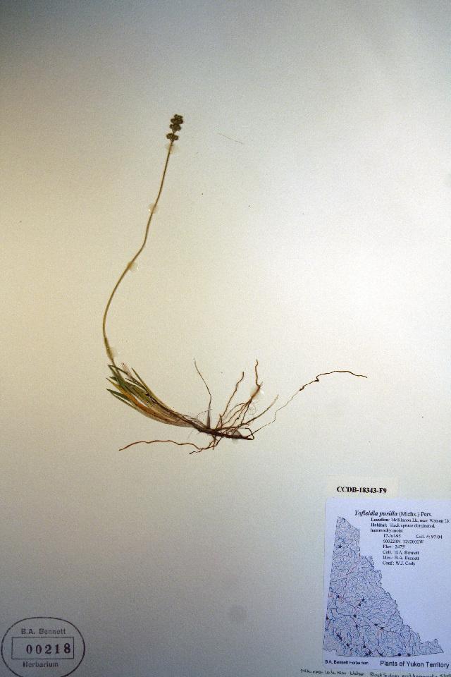 Image of Scotch false asphodel