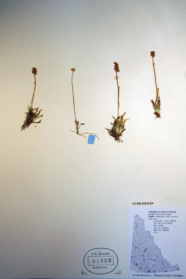Image of northern asphodel