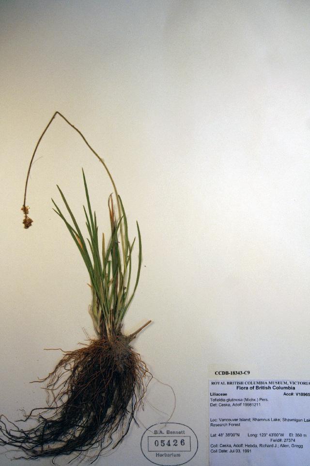 Image of sticky tofieldia