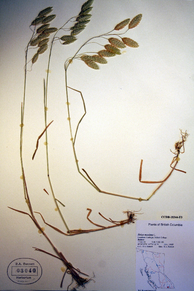 Image of big quakinggrass