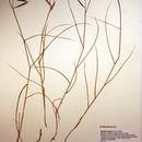 Image of saltmeadow cordgrass