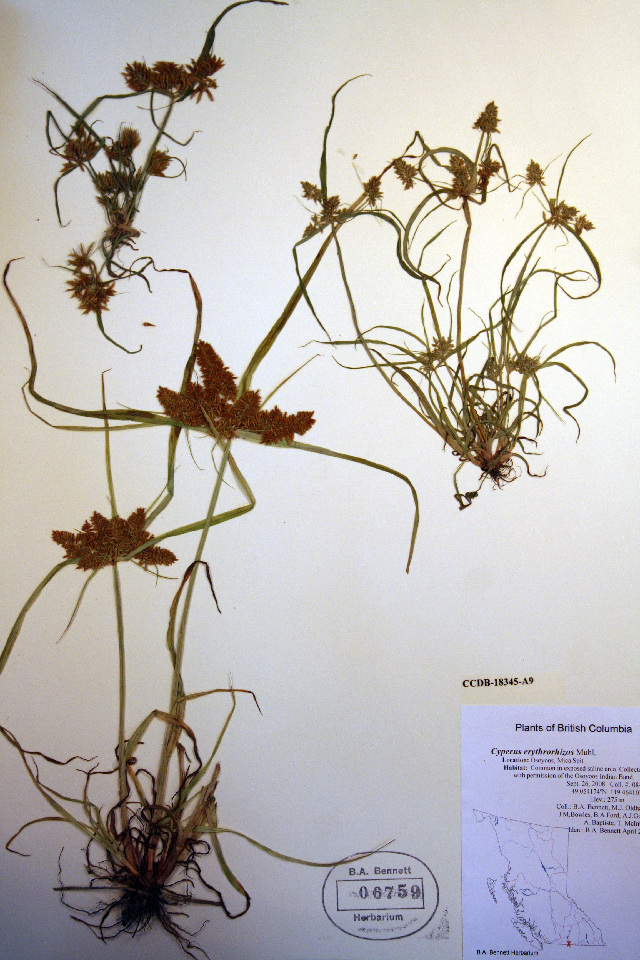 Image of Red-root flatsedge