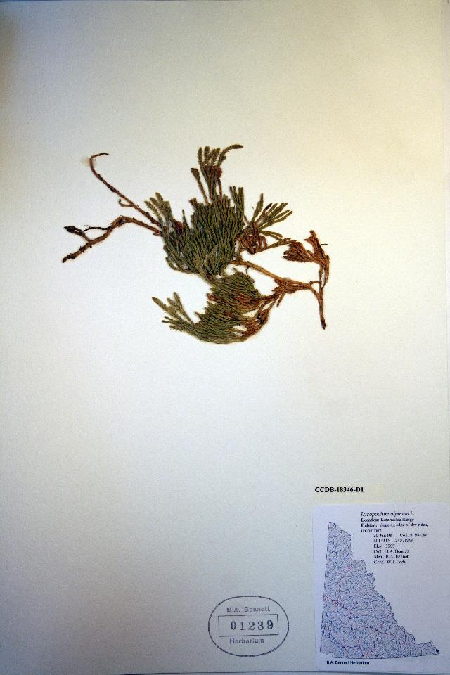 Image of Alpine Creeping-Cedar