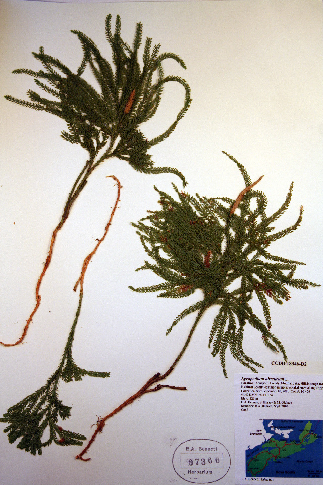 Image of rare clubmoss
