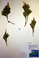 Image of Pennsylvania clubmoss