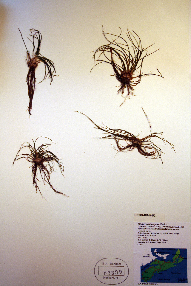 Image of spiny-spored quillwort