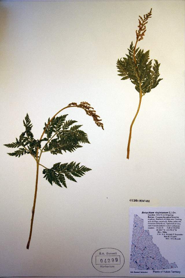 Image of rattlesnake fern