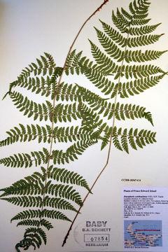Image of spinulose woodfern
