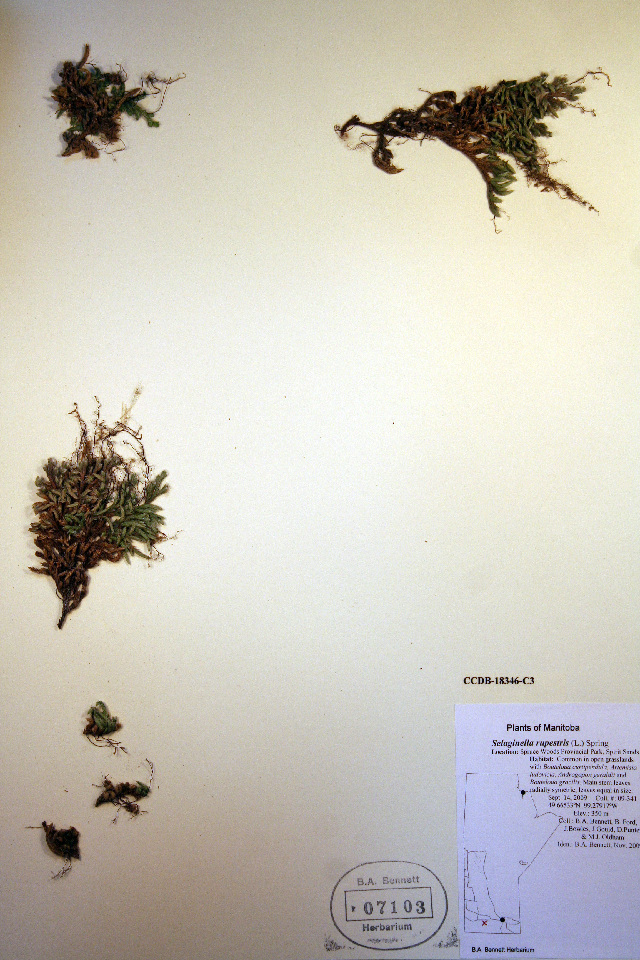 Image of <i>Selaginella rupestris</i>