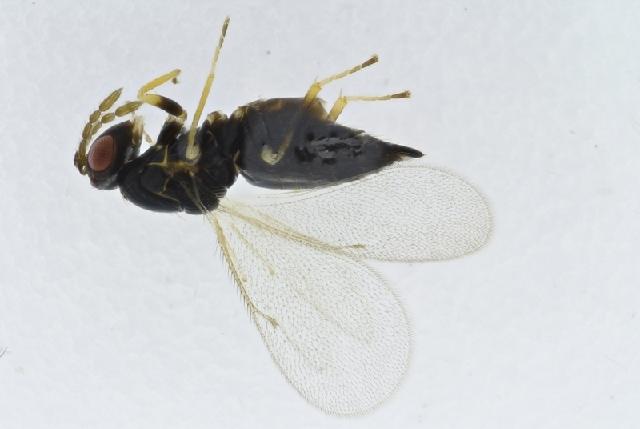 Image of <i>Pteromalus albipennis</i> Walker 1835