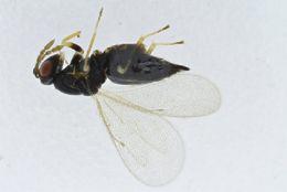 Image of <i>Pteromalus cingulipes</i>