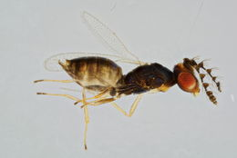 Image of Allocerastichus